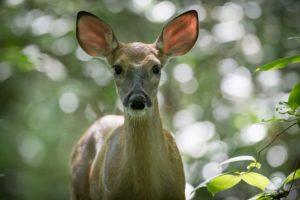 deer photo by Drew Stawin