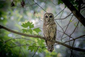 owl photo by Drew Stawin